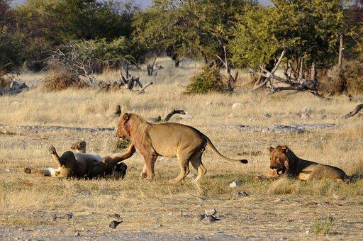 Lion, Play, Africa, Animals, Etosha, Namibia