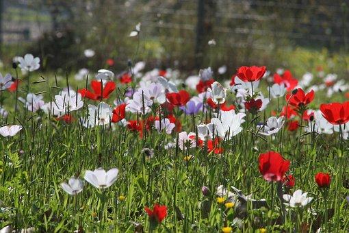 Anemone Coronaria, Flowers, Flower Field, Nature