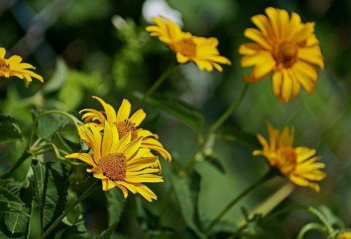 Słoneczniczek Rough, Flowers, Yellow, Garden