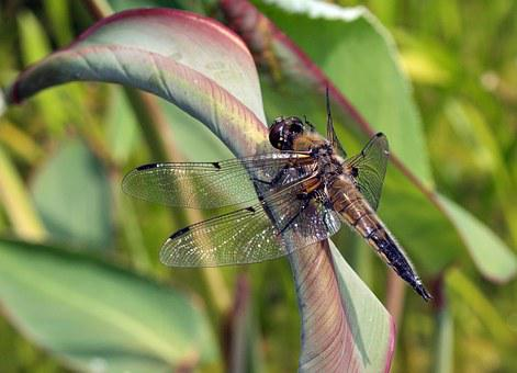 Dragonfly, Four Patch, Biotope, Insect, Wing, Nature