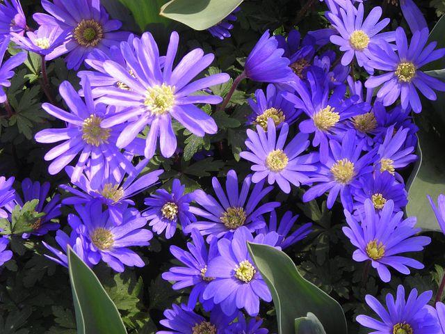 Anemones, Signs Of Spring, Purple, Frühlingsanemone