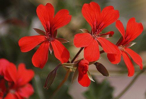 Geranium, Garden, Slopes With A, Thapsus, Flower, Flora