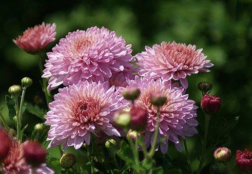 Astra, Flowers, Garden, Pink, Rozkwitnięte, The Buds