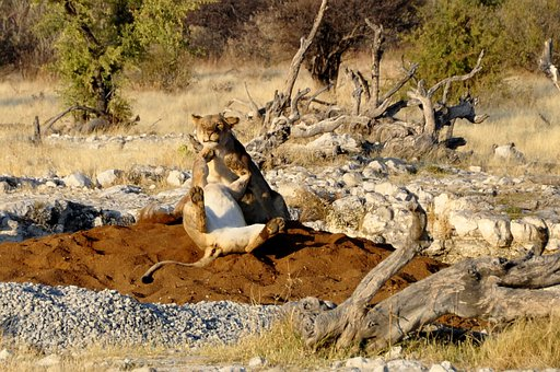 Lion, Lioness, Play, Get It All, Africa, Etosha