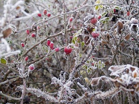 Winter, Wild Rose, Hard Rime, Erica, Bush, Frost, Cold