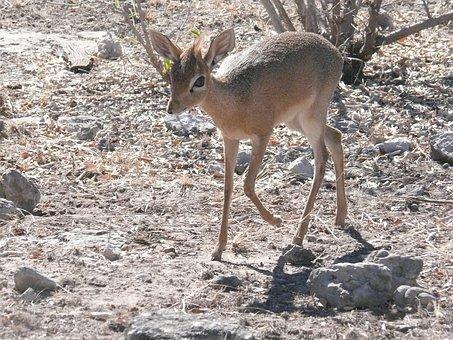 Antelope, Africa, Animal, Mammal, Herbivore, Dikdik