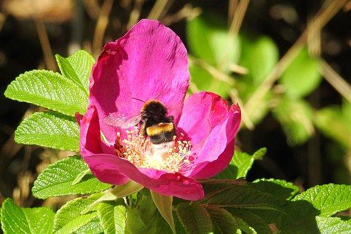 Rose, Potato Rose, Hummel, Insect, Blossom, Bloom