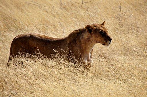 Lion, Lioness, Wild, Big Cat, Wildcat, Animals, Nature