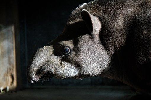 Tapir, Zoo, Animal, Perissodactyla, Proboscis, Mammal