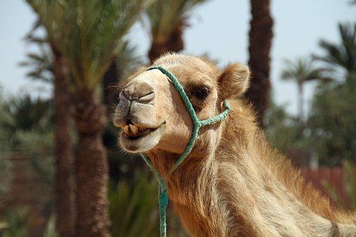 Camel, Morocco, Desert, Animal, Sahara, Dune, Mammal