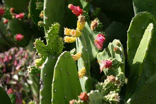 Cactus, Nature, Succulent, Plant, Green, Dessert