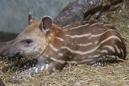 Animals, Mammal, Perissodactyla, Tapir