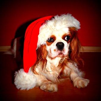 Cavalier King Charles Spaniel, Dog, Christmas, Pet
