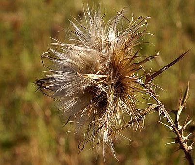 Thistle, Field Plant, Zeschły Thistle, Plant, Nature