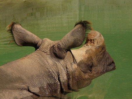 Indian Rhinoceros, Rhino, Rhinoceros, Perissodactyla