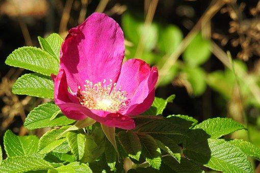 Rose, Potato Rose, Red, Blossom, Bloom, Bush, Summer