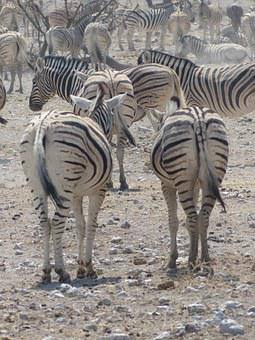 Zebras, Safari, Etosha National Park, Animals, Flock