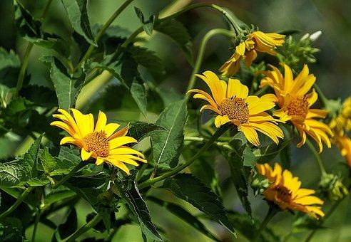Słoneczniczek Rough, Flower, Flora, Yellow Flower