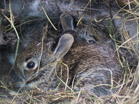 Bunnies, Rabbits, Wild, Cute, Baby, Nest, Young