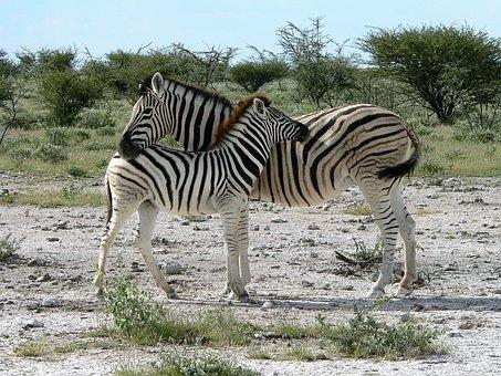 Zebra, Mother With Zebra Kid, Africa, Safari