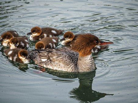 Ducks, Baby Ducks, Ducks In A Row, Baby, Cute, Water