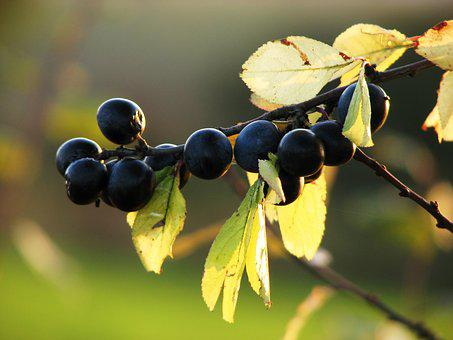 Sloes, Berries, Fruits, Blue, Blackthorn, Bush, Autumn