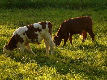 Cows, Cattle, Beef, Bos Primigenius Taurus, Livestock