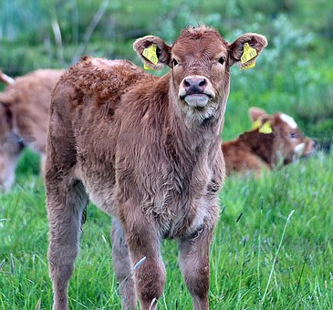 Brown Swiss, Bos Primigenius Taurus, Livestock, Calf