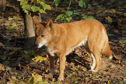 Dingo, Dog, Fur, Australia, Tail, Red Brown, Mammal