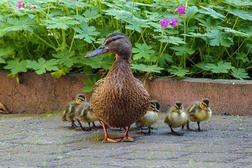 Duck, Duck Family, Chicks, Duck Mother, Duck Baby