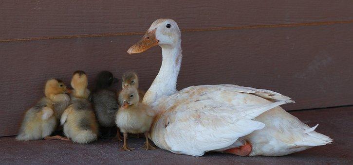 Duck, Chicks, Bird, Farm, Animal, Duckling, Yellow