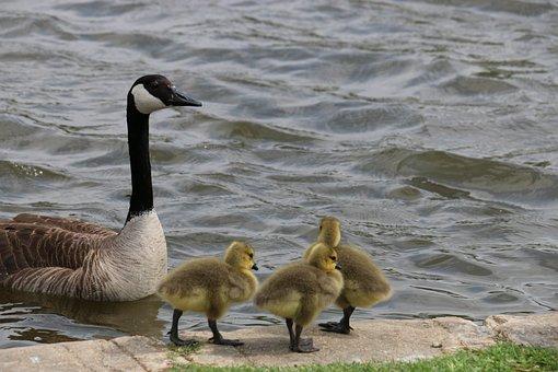 Ducks, Ducklings, Baby Animals, Spring Animals