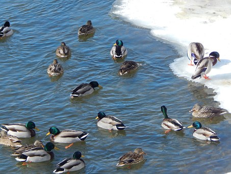 Water Duck, Mallard, Animal, Ducks, Duck