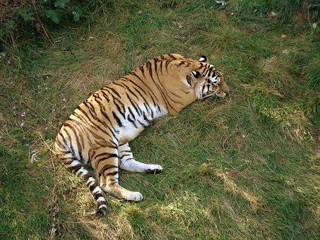 Tiger, Siberian Tiger, Amur Tiger, Sleeping, Feline
