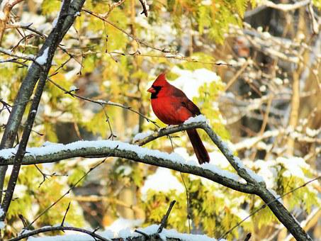 Cardinal, Male, Bird, Nature, Forest, Wildlife