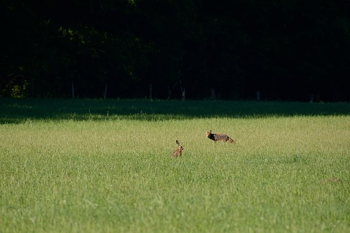 Fuchs, Hare, Fox And Hare, Duvenstedter Brook