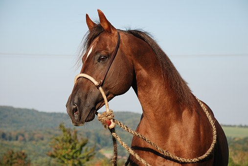 Horse, Stallion, Deckhengst, Fuchs, Brown, Quartehorse