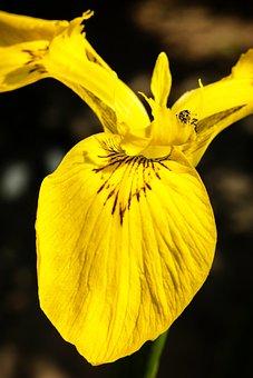 Iris, Beetle, Pest, Parasite, Leafes, Yellow