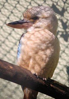 Laughing Jackass, Bird, Kookaburra, Dacelo, Australia