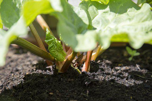 Edible, Fresh, Garden, Gardening, Leaf Stalks, Outdoors