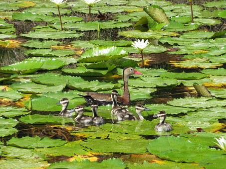 Ducklings, Duck, Lily Pads, Pond, Green, Mother, Baby