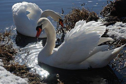 Swan, Ice, Winter, Water, Lake, Nature, Bird, Wildlife
