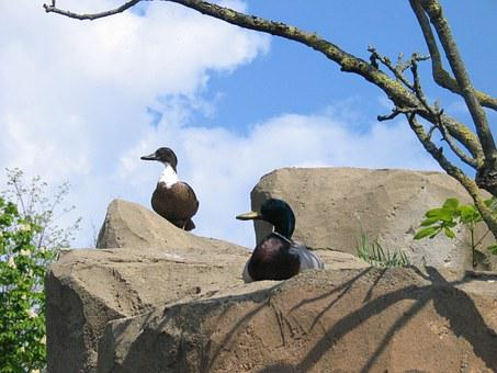 Ducks, Nature, Rock, Water Bird, Animal, Animal World