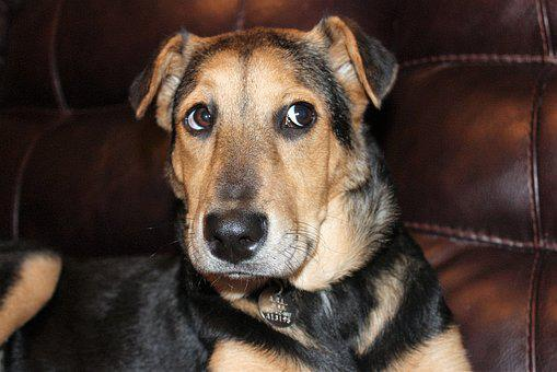 Black And Tan, Rescue Dog, Shepard Puppy