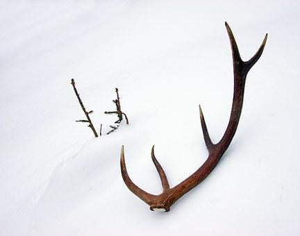Deer, Horns, Stage, Antlers, Snow, Winter, Surprise