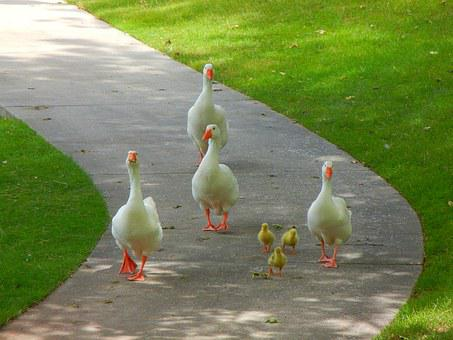 Birds, Goose, Nature, Family, Ducklings, Walking, Fauna
