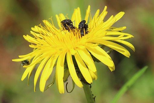 Dandelion, Insect, Beetle, Piggyback, Flower, Yellow