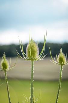 Thistle, Burdock, Prickly, Plant, Flora