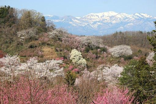 Fukushima, Cherry Blossom Viewing Mountains, Cherry