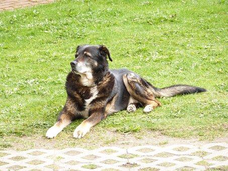 Dog, Bernese, Mountain, Berner, Bernese Mountain Dog